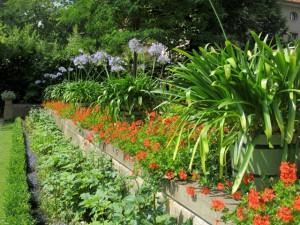 Agapanthus-Pflanzen im Liebermann-Garten