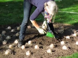 Die Kaiserkronen werden in das ovale Beet im Heckengarten gesetzt.