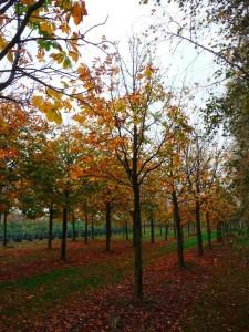 Noch steht die neue Rosskastanie in der Baumschule Lorberg.
