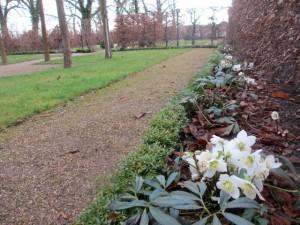 Christrosen im Lindenkarree des Liebermann-Gartens