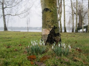 Schneeglöckchen am Birkenweg im Liebermann-Garten