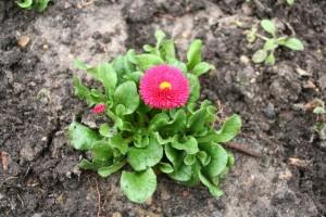 Pinke Bellis im Blumenbeet der Liebermann-Villa