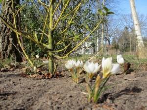 Frühblüher im Liebermann-Garten